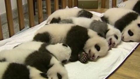von china baby pandas_00003629