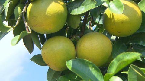nat.skorea.grapefruits_00012714