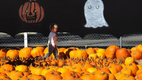 A young child walks across a pumpkin patch in Culver City in southern California, ahead of Halloween. In the US, Halloween is celebrated with child-friendly activities, like trick-or-treating, carving pumpkins into jack-o'-lanterns and dressing in costumes.