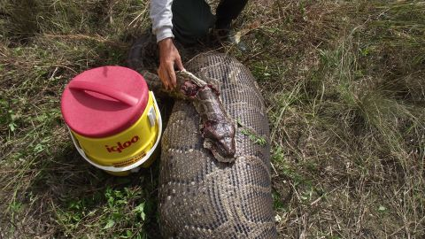 A Burmese python in the Everglades swallowed a 76-pound deer. The National Park Service conducted a necropsy.