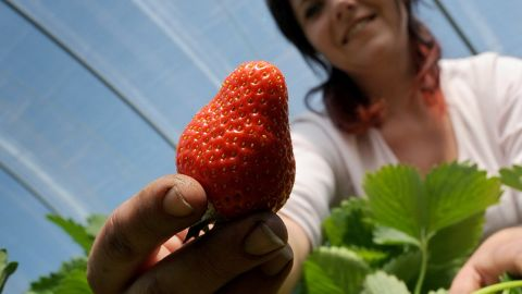 Violetta, seasonal harvest worker from Poland, crops strawberries during the opening of the crop season on May 19, 2010 in Luedinghausen, western Germany.