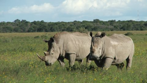 """Africa's northern white rhino is """"teetering on the brink of extinction"""" according to the lastest IUCN Red List"""