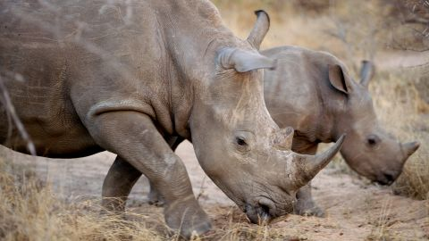 According to the World Wildlife Fund, so far in 2011 more than 340 rhinos have been killed. WARNING: This gallery contains graphic images. Discretion is advised.