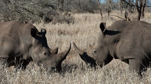 The exact price of rhino horns are hard to gauge but some believe that it is more valuable than gold.