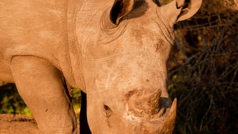 Some tourism chiefs and wildlife protection groups believe that both black and white rhinos are under threat because rhino horn is used as a medicine in Asia.