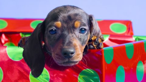 Giving a puppy for Christmas also entails multiple responsibilities.