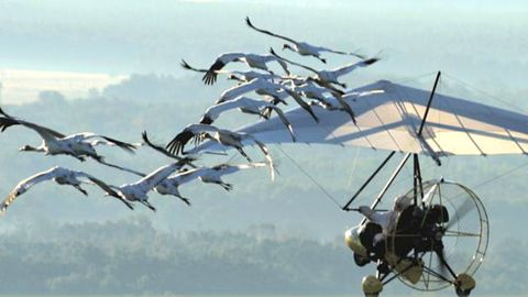 Operation Migration assists whooping cranes on their first journey south for the winter.