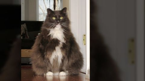 """Elizabeth Gutierrez of Pennington, New Jersey, says her 8-year-old cat, Tattoo, is so fat that the family has renamed him """"Fattoo.""""  The cat should probably weigh 12 pounds, but he's gotten up to more than 22 pounds -- so heavy that it's difficult to pick him up, and the floor boards in the house creak when he walks on them. The vet has told her Tattoo could develop diabetes and other health problems if he doesn't lose weight. She is concerned about his condition, but says she has been unable to control his portions. """"We have tried to control his portions by giving him half a portion in the mornings and then removing the dish until the evening. It becomes difficult because we have another older cat who eats smaller meals several times a day. Tattoo keeps her away from the food dish or eats what I she leaves over."""""""