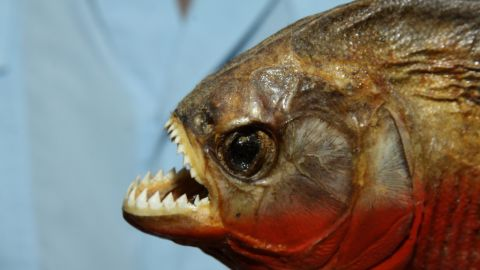Joel Rakower pleaded guilty Wednesday to smuggling nearly 40,000 piranhas into the United States.