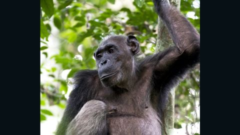 In partnership with the Wildlife Conservation Society (WCS) and a Congolese logging company, the government hope to prevent hunting and promote future study.