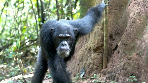 Many of the chimps show a curiosity towards their human investigators.