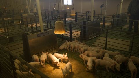 """Tofteland inspects young pigs at one of his hog barns outside Luverne, Minnesota. The stench of a hog barn, he says, pales in comparison to the stench of MF Global executives: """"Our money was stolen and nobody is being held accountable."""""""