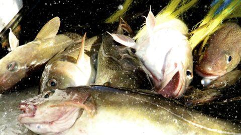 Cod fish hauled aboard a fishing trawler in the Gulf of Maine.