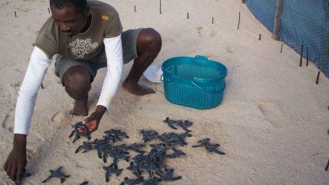 Leatherback hatchlings in a hatchery, Gabon.