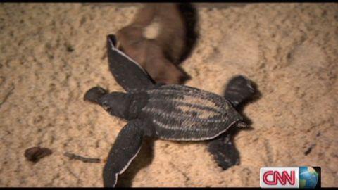 exp inside africa gabon leatherback turtles c_00044301