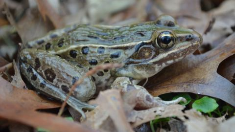 """Scientists say the new leopard frog species, which is currently unnamed, has a """"peculiar croak."""""""