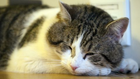 Work with your vet to gradually reduce food intake and improve your cat's diet.