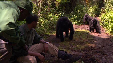 ia rwanda gorilla close_00015506