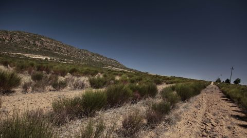 """Rooibos, an Afrikaans word that means """"red bush,"""" grows only in South Africa's Western Cape province."""