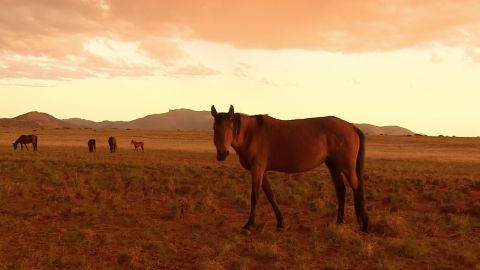"""They were once known as """"ghost horses"""" as they were rarely seen and kept their distance from humans, but in recent years have become more accustomed to human contact."""