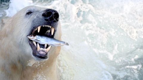 Humans are drawn towards animals that display characteristics they admire, like the powerful polar bear, says author of the report, Dr. Ernie Small.