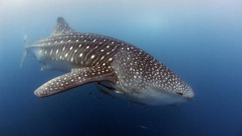 Giant fish such as the whale shark meanwhile command human respect because of their size and distinctive appearance, Small says.