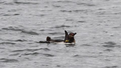 This picture released by Tokyo Sea Life Park on March 5, 2012, shows the escaped penguin swimming in a river in Tokyo.