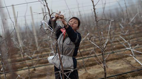 A North Korean woman works on an apple farm near Pyongyang on April 10, 2012.