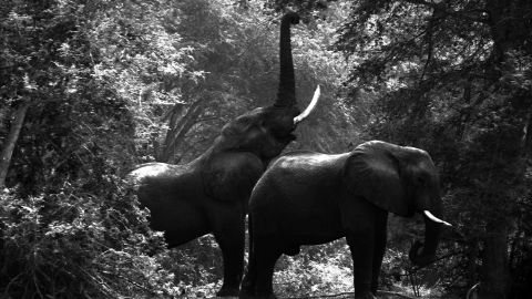 """According to Christo, at the beginning of the 1980s there were over a million elephants roaming Africa. Today that number has dramatically fallen to """"no more than 400,000."""""""