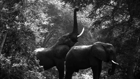"""According to Cryil Christo, at the beginning of the 1980s there were over a million elephants roaming Africa. Today that number has dramatically fallen to """"no more than 400,000."""""""