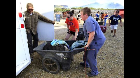 A pig is evacuated in a wheelbarrow from the Ching Family Animal Refuge in Herriman, Utah, as the wildfires worsen on Friday.