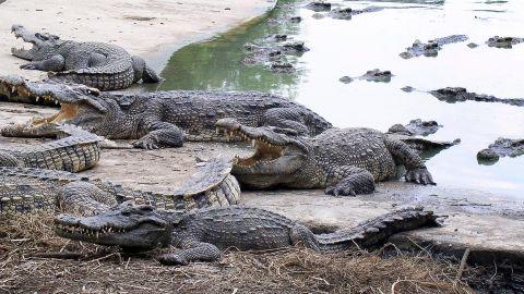 Farmed Siamese crocodiles shown at the Samut Prakan Crocodile Farm and Zoo near Bangkok, Thailand.