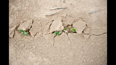 Soybean seedlings push their way through dry soil in Skelton, Indiana, on July 12.