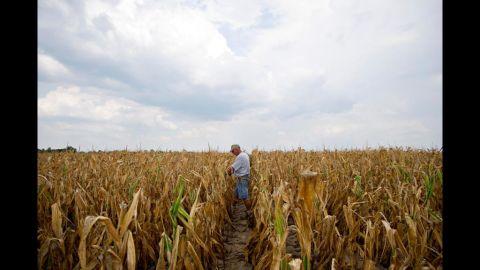Farmer Albert Walsh walks through his drought-damaged corn field in Carmi, Illnois, on July 11.