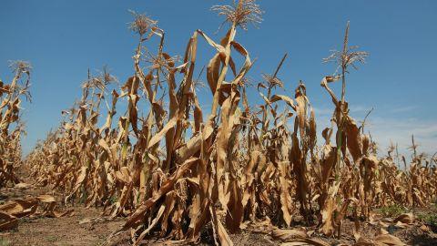 Corn plants struggle to survive in a drought-stricken farm field near Oakton, Indiana.