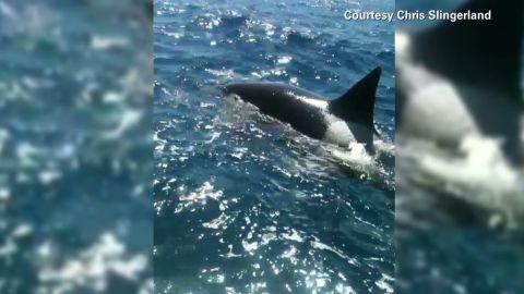 vo orca killer whale_00001705
