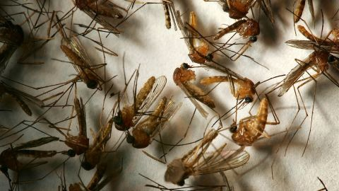 """Day biting mosquitoes can spread a disease called dengue fever, otherwise known as """"break-bone fever."""""""