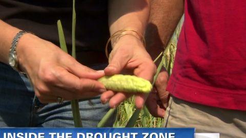 ybl.romans.drought.corn.fields_00013524
