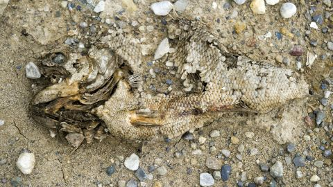 Fish remains bake in the heat in an area that is usually underwater at the Morse Reservoir in Indiana.