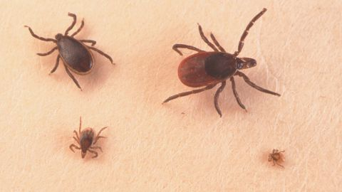 A Close Up Of An Adult Female, An Adult Male, Nymph And Larva Tick Is Shown June 15, 2001.