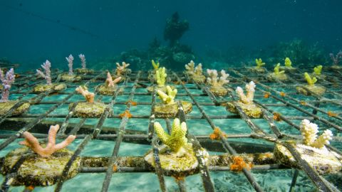 Coral reefs across the Pacific region are under threat from warming oceans, acidification and the aquarium trade. A Worldfish Center inititative in the Solomon Islands uses local techniques to farm coral for the international trade.