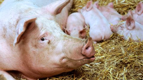 A sow and its babies is pictured on September 2, 2012 in the northern city of Bailleul. AFP PHOTO PHILIPPE HUGUEN (Photo credit should read PHILIPPE HUGUEN/AFP/GettyImages)