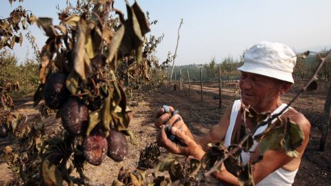 A man looks at a burnt plum tree after a fire swept through a village of Gorna Gorevnica, near Cacak, Serbia, on August 26, 2012. Serbia evacuated thousands of villagers and called in the army to help fight fires through the drought-hit western Balkans.