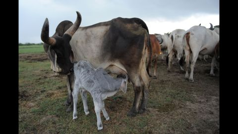 A day-old calf feeds on its mother in a pasture along the Bagodra-Limdi highway near Ahmedabad, India, on August 23, 2012. Thousands of cattle from drought-hit regions of Saurashtra and Kutch districts are migrating to green pastures in search of food and water due to drought-like conditions.
