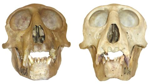 The differences in the skulls of the Owl-Faced monkey (right) and the Lesula (left). The most easily observable differences illustrated by the skulls and the plot below are that the lesula has larger eyes, a narrower distance between the orbits, and a more flexed back of the cranium.