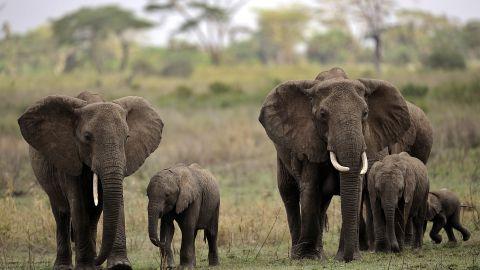 Elephants are among the abundant wildlife in Serengeti National Park