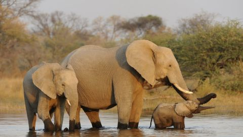 The majestic African elephants are in trouble as wildlife experts say poachers are slaughtering as many as 25,000 of them a year because of their ivory tusks. If things don't change soon the African elephant could be extinct within decades, experts warn.