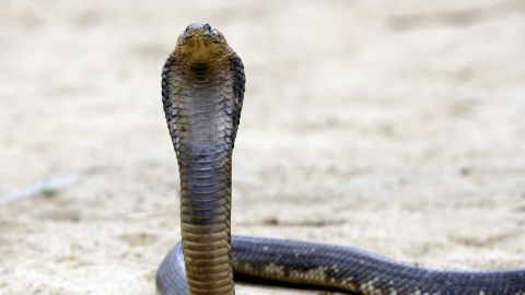 An Egyptian cobra like this one escaped from a carry-on bag on an Egypt Air flight from Cairo to Kuwait.