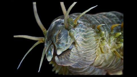 This image of a Alitta Virens' head displays its four eyes, antennae and sensory papillae. However, unseen are two sharp jaws that take up one-third of the 15 in. body length.