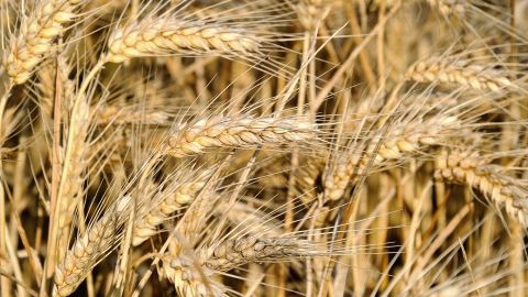 """Experts say many health problems stem from changes in food production. """"The hybridization of the native European wheat with a shorter, hardier strain from South America in the 1940s produced the particular gluten protein that triggers the sensitivity in people's digestive system,"""" says Cetojevic. """"For thousands of years people ate and digested wheat without adverse effects, but we haven't yet adapted to the new protein in the hybrid variety that is now widely grown and marketed for its convenience and higher yield. People are better off eating the older strains such as spelt and kamut.""""<br />"""